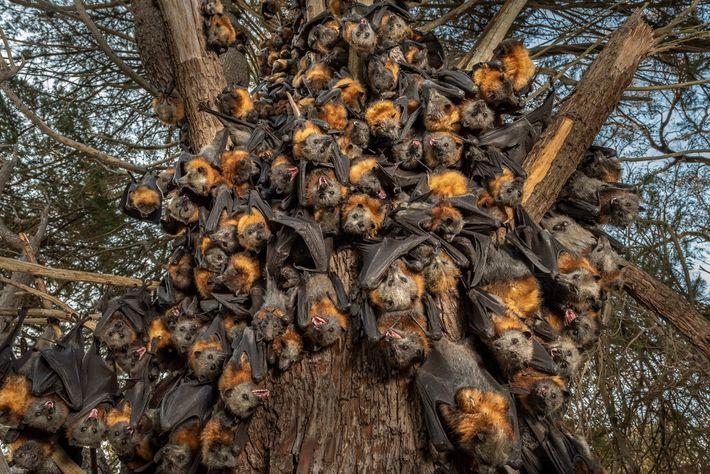 Dezenas de raposas-voadoras aglomeram-se na tentativa de sobreviver ao calor sufocante de 43 graus no Parque ...
