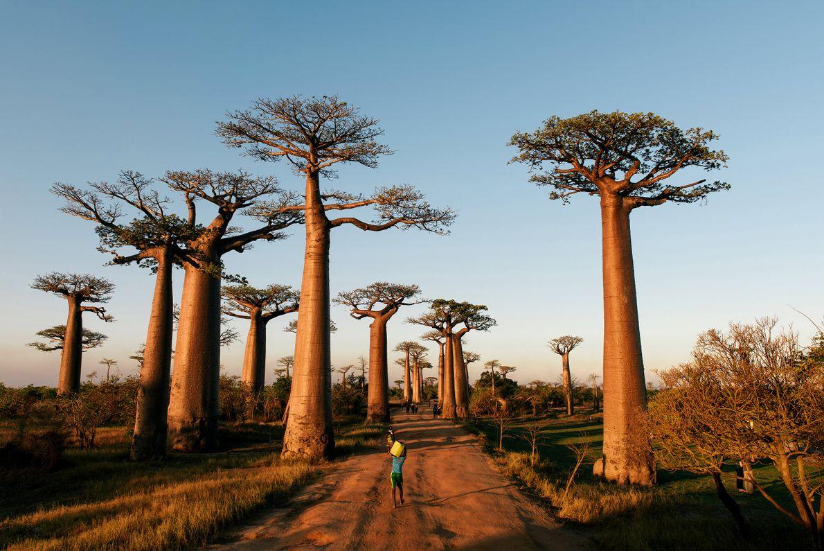 MADAGÁSCAR: AVENIDA DOS BAOBÁS