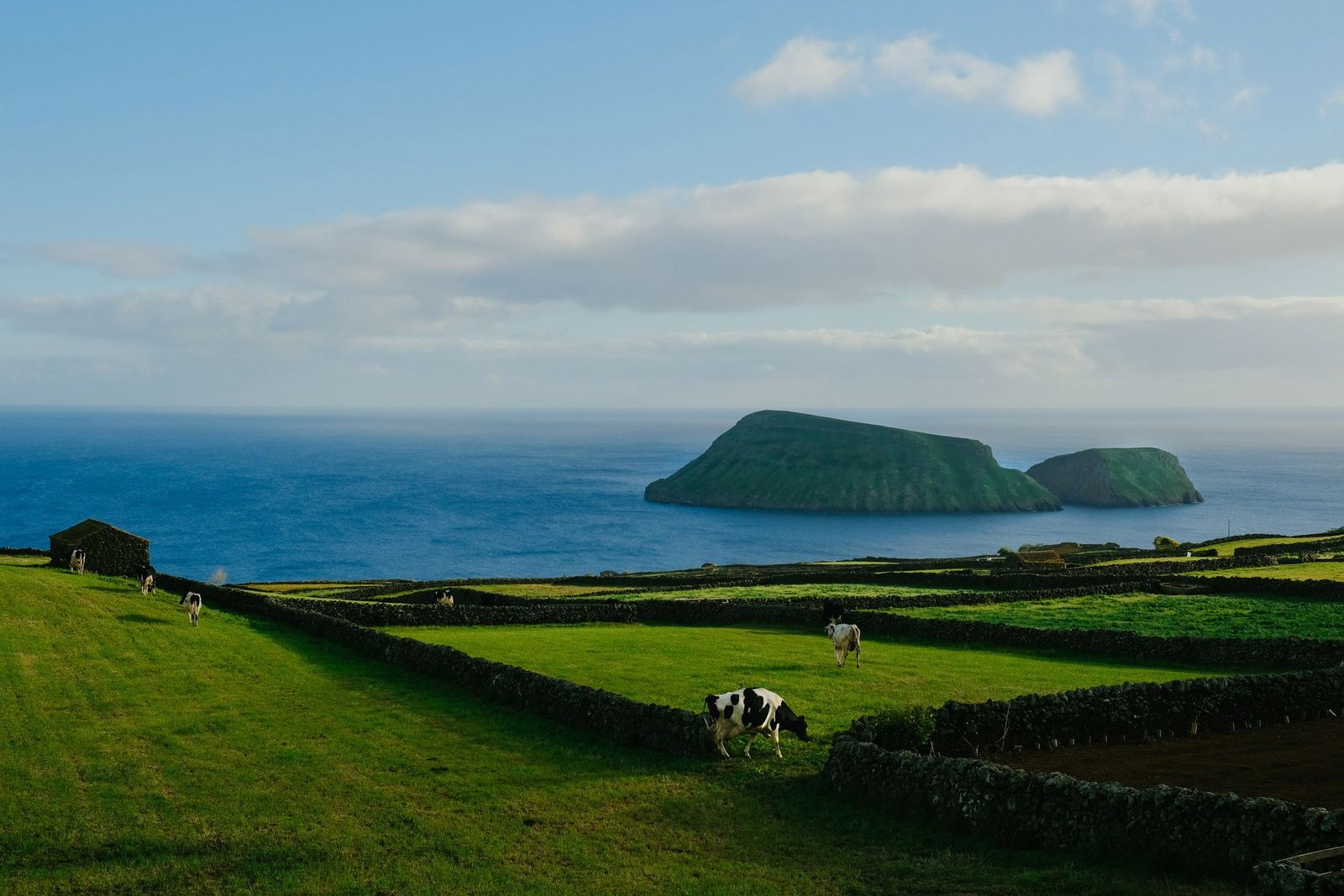 Vacas a pastar numa colina, na costa sudeste da Ilha Terceira, onde há mais bovinos do ...