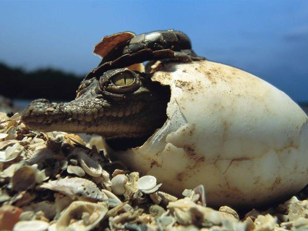 Crocodilo racha a sua casca