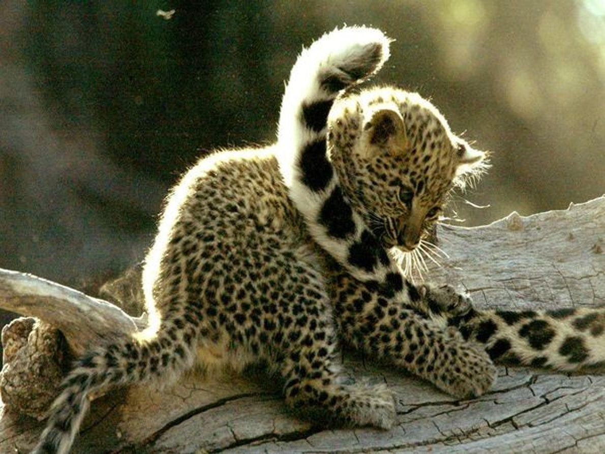 Cria de leopardo a brincar com a cauda da mãe