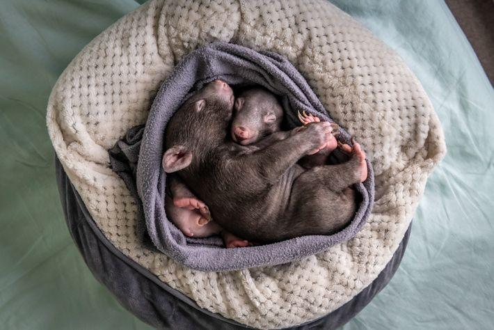 Landon e Bronson, de sete meses, dormem numa bolsa artesanal no apartamento de Emily Small. Os ...