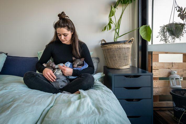 Emily alimenta dois vombates no seu quarto. Os jovens animais requerem uma fórmula especializada, que é ...