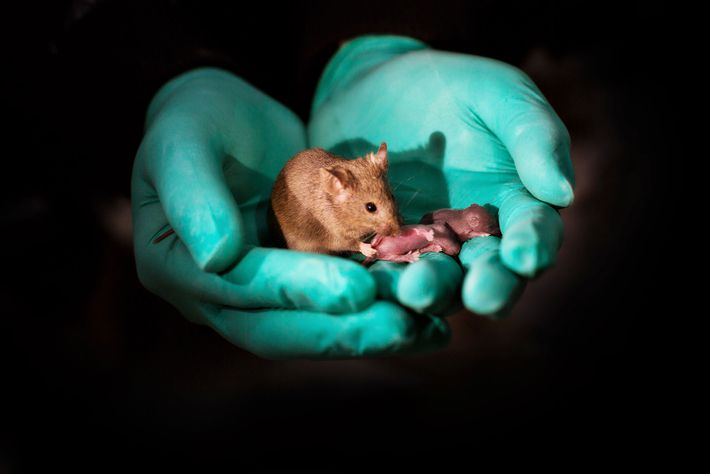 Através da edição de genes, dois ratos fêmea deram à luz esta cria, conforme descrito num ...