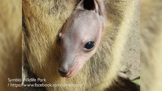 Imagens raras de uma cria de canguru-de-bennett a crescer na bolsa marsupial da sua mãe
