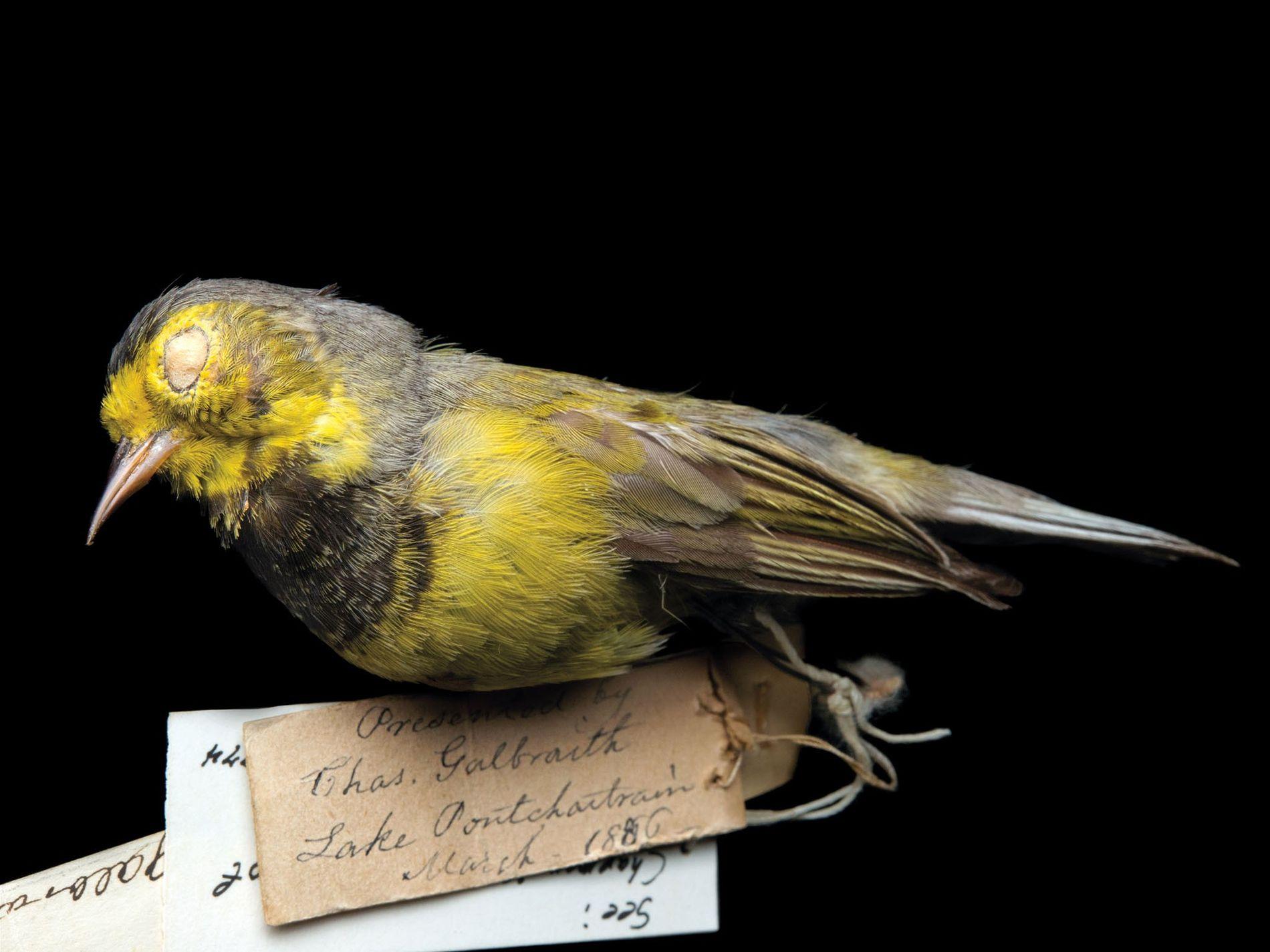 Um rouxinol Vermivora bachmanii, (em perigo crítico, possivelmente extinto), uma das aves canoras mais pequenas nativas ...