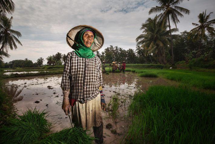 Ibu Khairiah trabalha nos arrozais na região de Banyuwangi