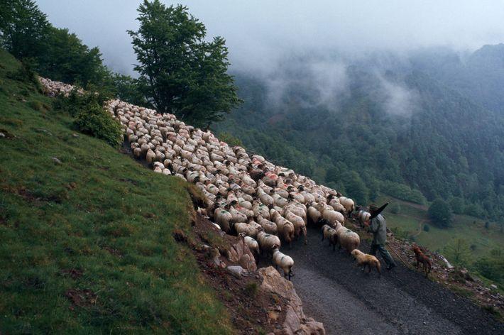 Nos Pirenéus franceses, um pastor basco conduz centenas de ovelhas por uma montanha rodeada de nuvens. ...