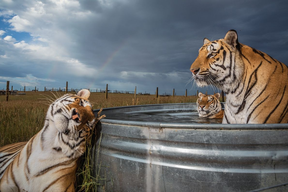 Clay, Daniel e Enzo, 3 dos 39 tigres resgatados de um parque de animais em Oklahoma, ...