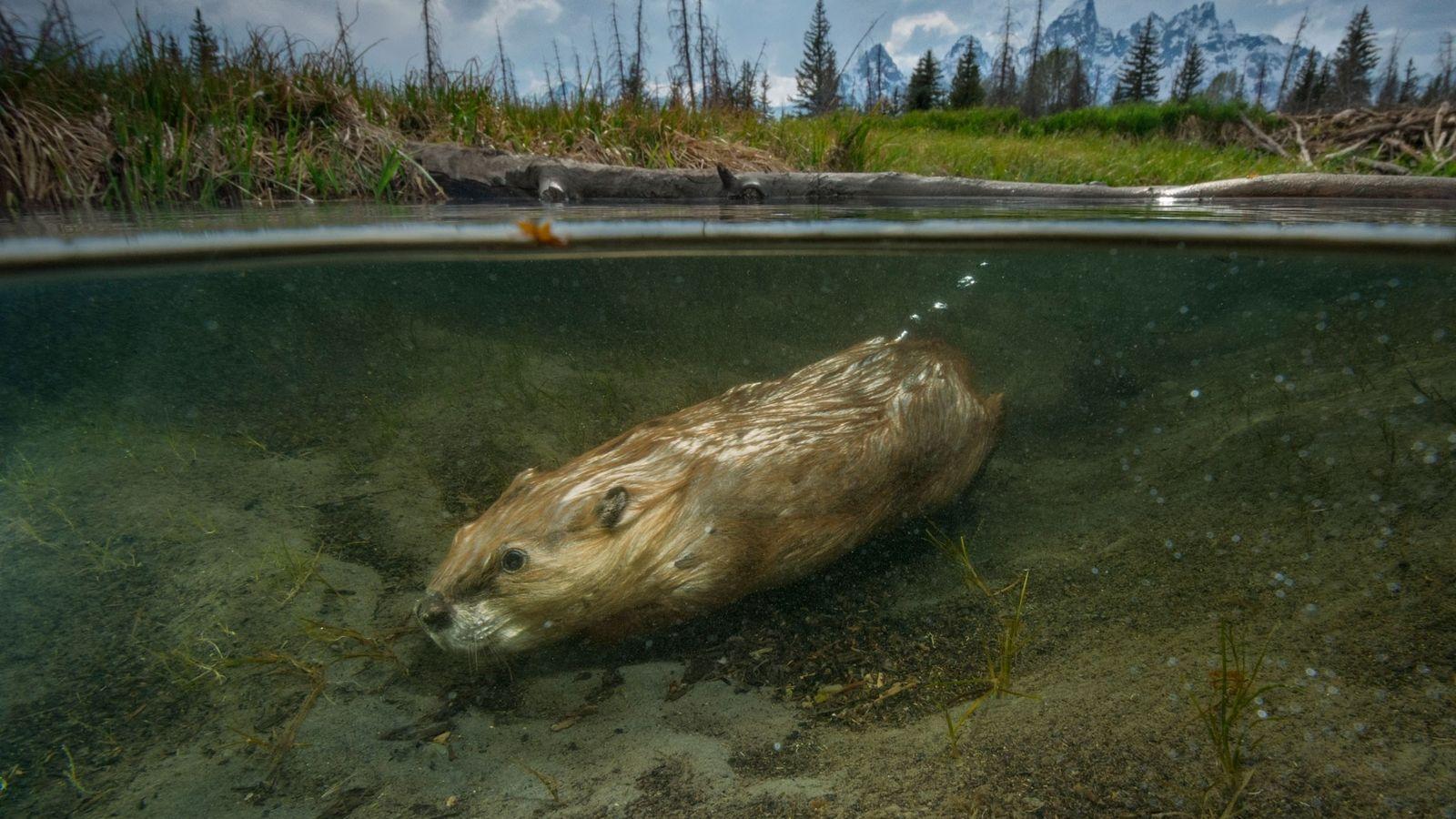 Um castor nada pela zona de Schwabacher Landing, no Parque Nacional de Grand Teton.