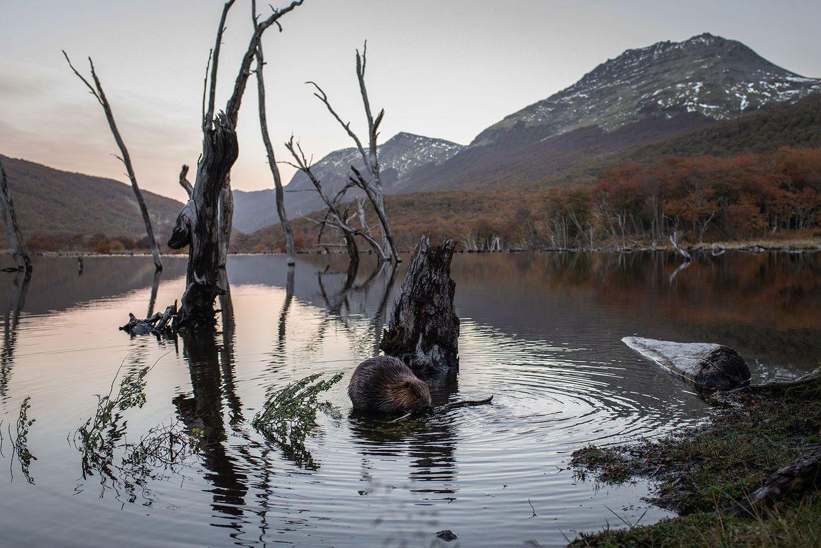 Ao final do dia, na Terra do Fogo, na Argentina, um castor mastiga um galho de ...