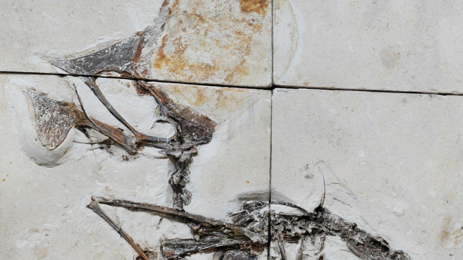 Sepultado em blocos de calcário, o fóssil recém-estudado é o primeiro esqueleto quase completo de uma ...