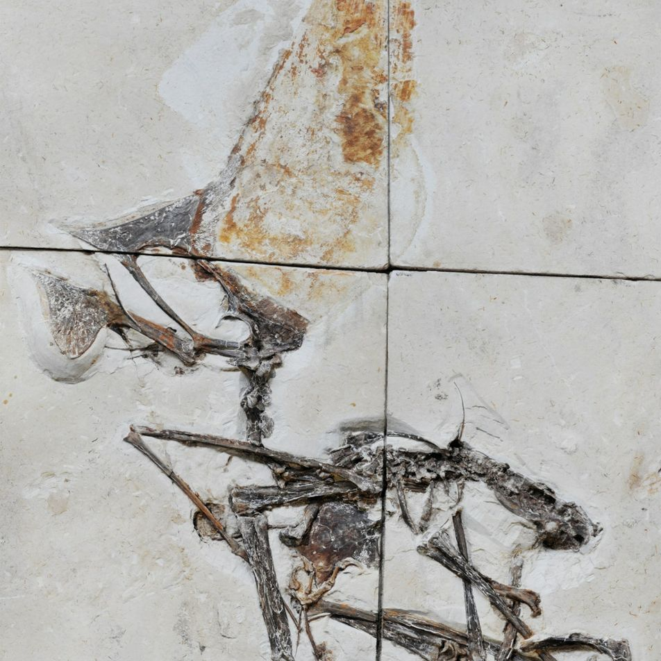 Fóssil impressionante apreendido em operação policial revela segredos de répteis voadores pré-históricos