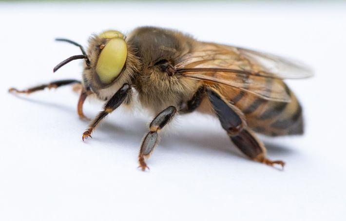 A abelha de olhos amarelos tem o que se chama de ginandromorfismo, onde as características de ...