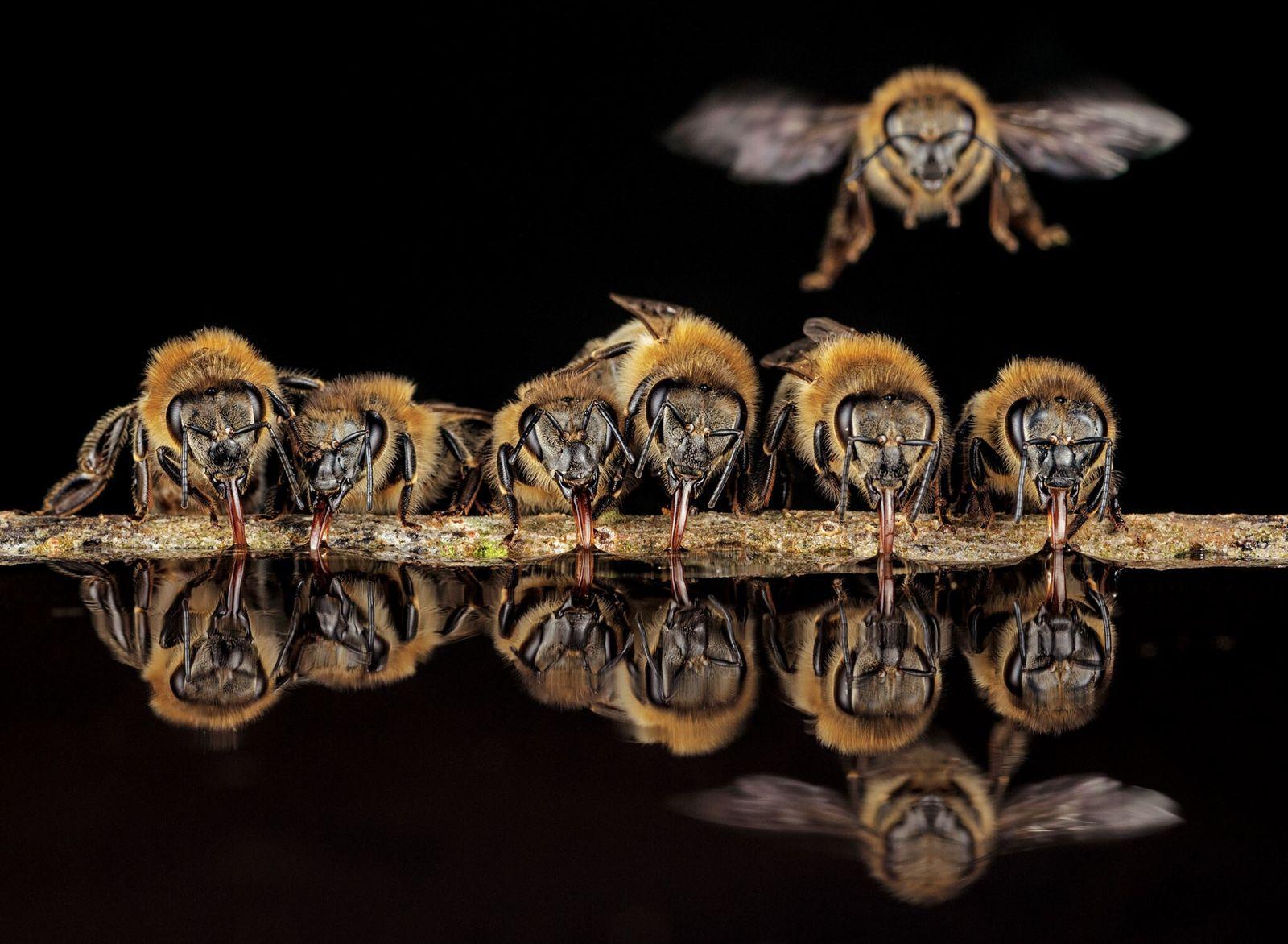 Com as suas línguas tubulares, as abelhas ocidentais em Langen, na Alemanha, sorvem água para levar ...