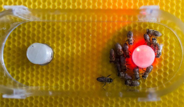 Espaço de decisão binária para as abelhas. Dois robôs competem entre si para atrair abelhas. São ...