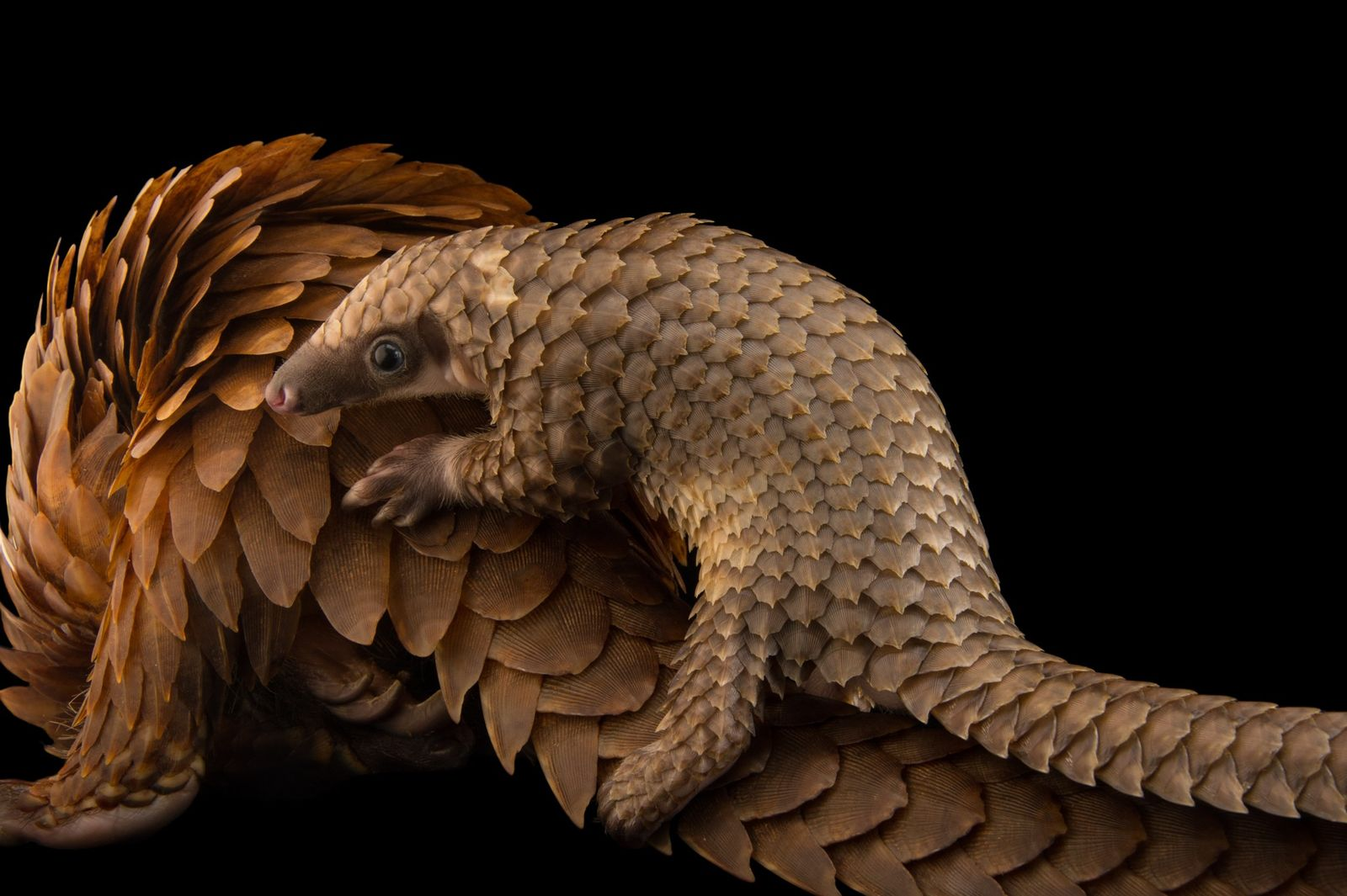 ST. AUGUSTINE, EUA – Joel Sartore, sediado no Nebraska, passou quase 15 anos a fotografar animais ...