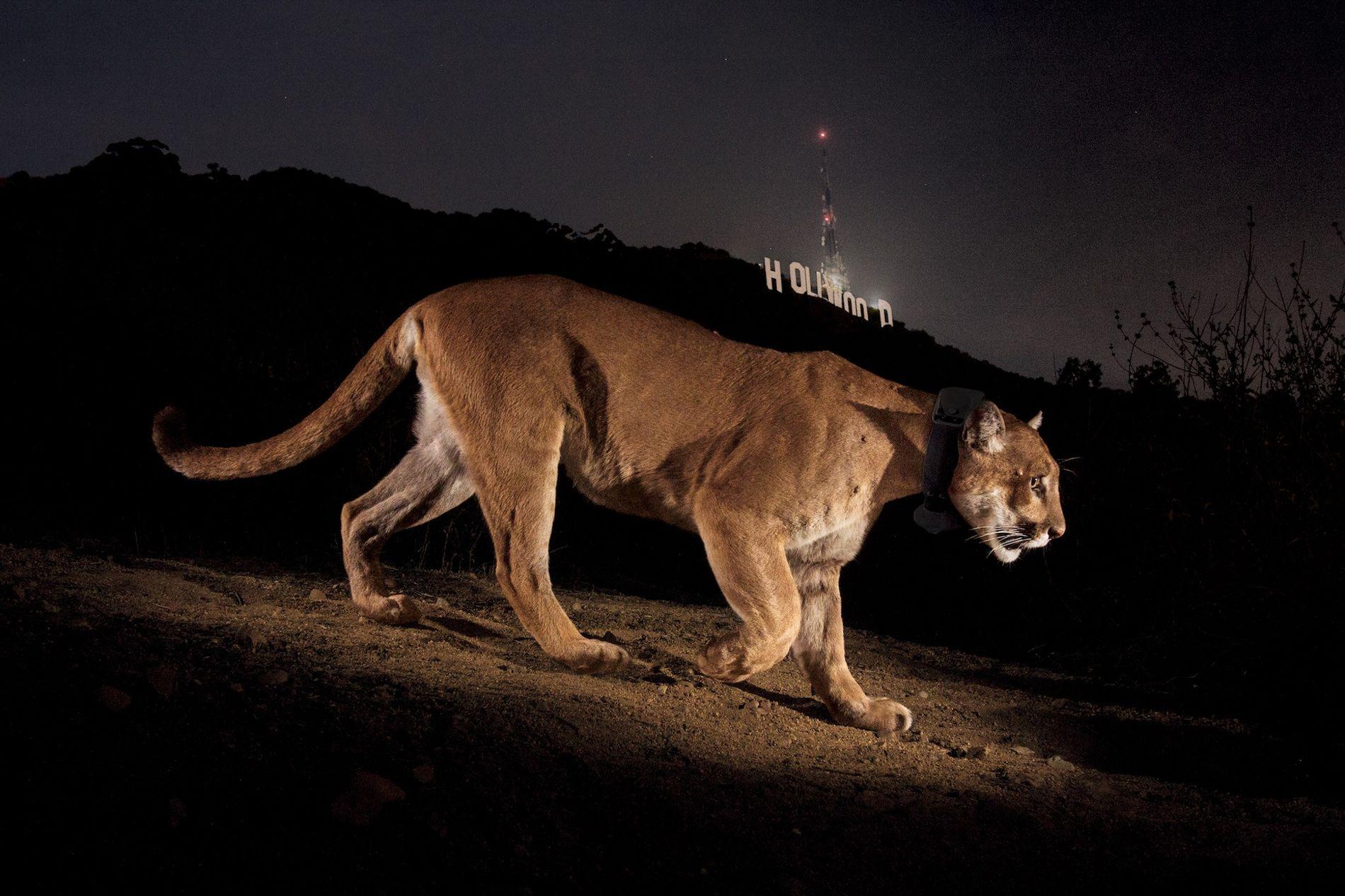 HOLLYWOOD, EUA – O nome deste puma é P22, e o fotógrafo Steve Winter já tinha ...
