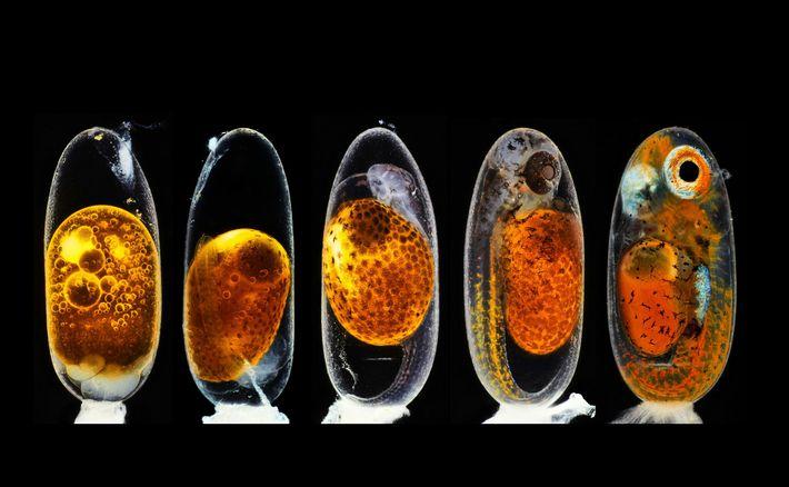 O fotógrafo Daniel Knop usou cinco imagens sobrepostas de um embrião de peixe-palhaço para ilustrar os ...