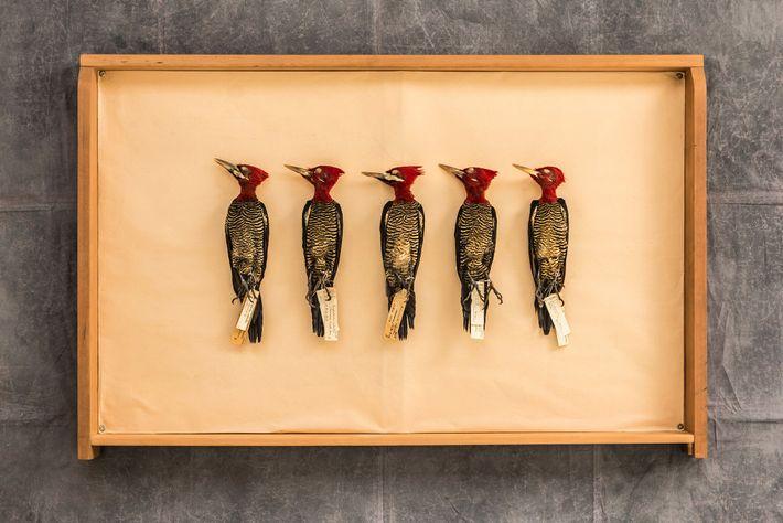 Cinco pica-paus-rei (Campephilus robustus) enchem uma das gavetas de coleções do Museu Argentino de Ciências Naturais ...