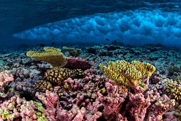 Rebentação de uma onda sobre um coral no Recife Kingman, no Monumento Nacional Marinho das Ilhas ...