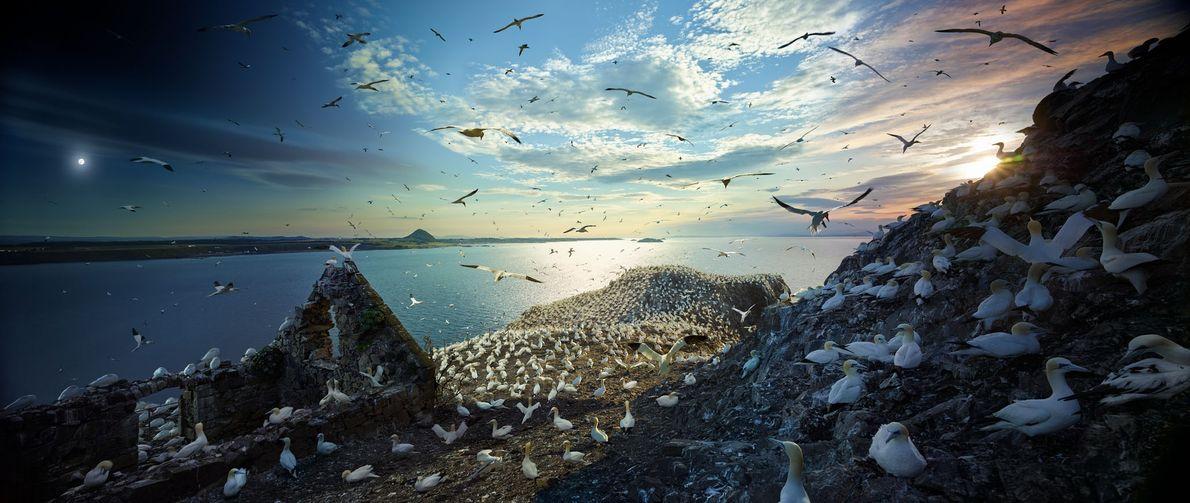 Durante a época de reprodução, 150 000 alcatrazes concentram-se em Bass Rock, uma ilha no estuário ...