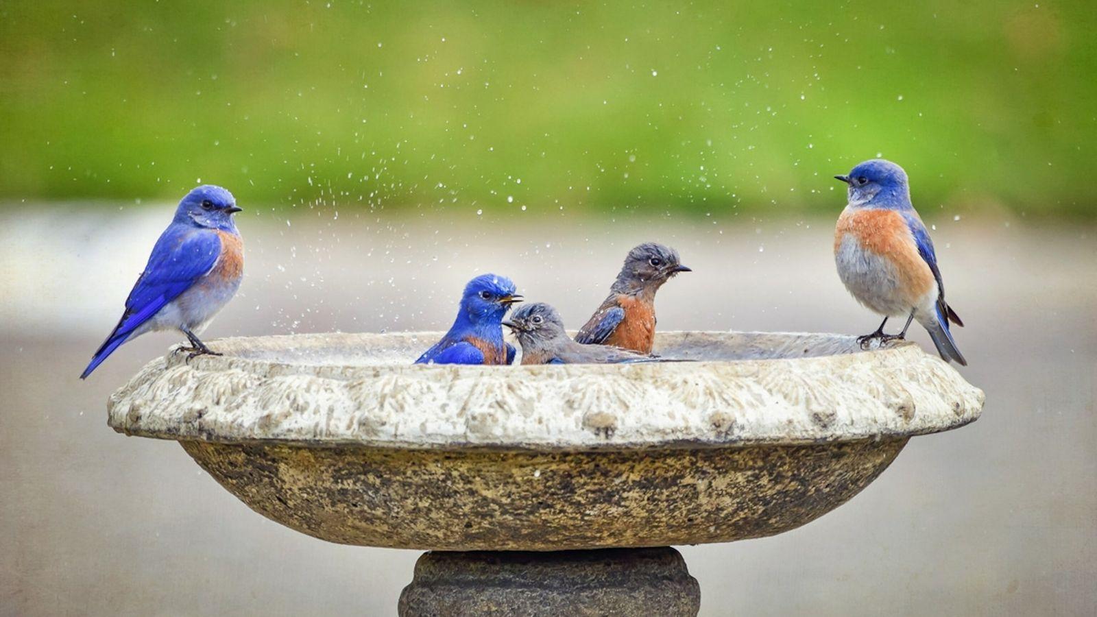 Banho de pássaros