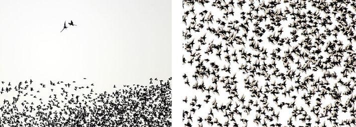 bandos de pássaros