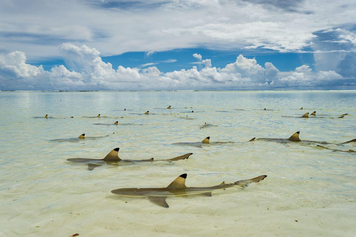 TUBARÃO-NEGRO, Carcharhinus melanopterus.