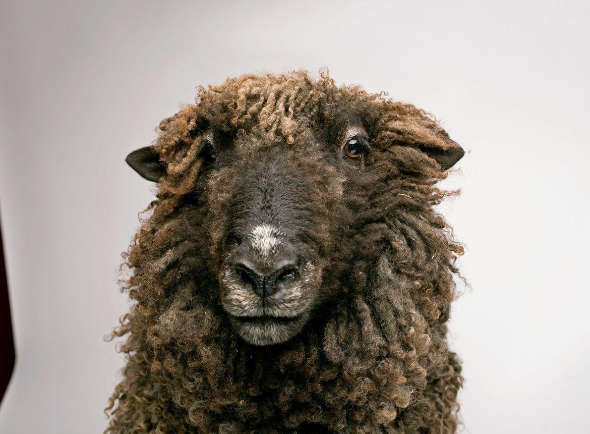 Estudos demonstram que as ovelhas conseguem reconhecer facilmente as suas companheiras e lembram-se da sua aparência ...