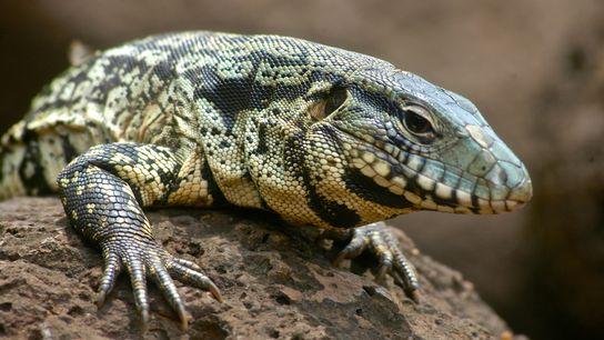 Lagartos teiú-argentinos (Salvator merianae) foram avistados em vários estados do sudeste dos EUA. Os biólogos estão ...