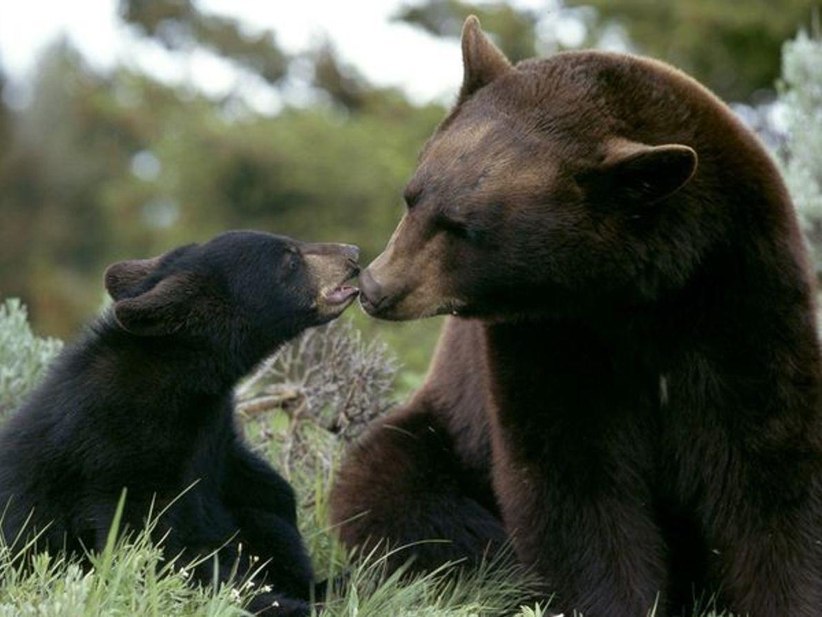 Mãe urso-negro e cria