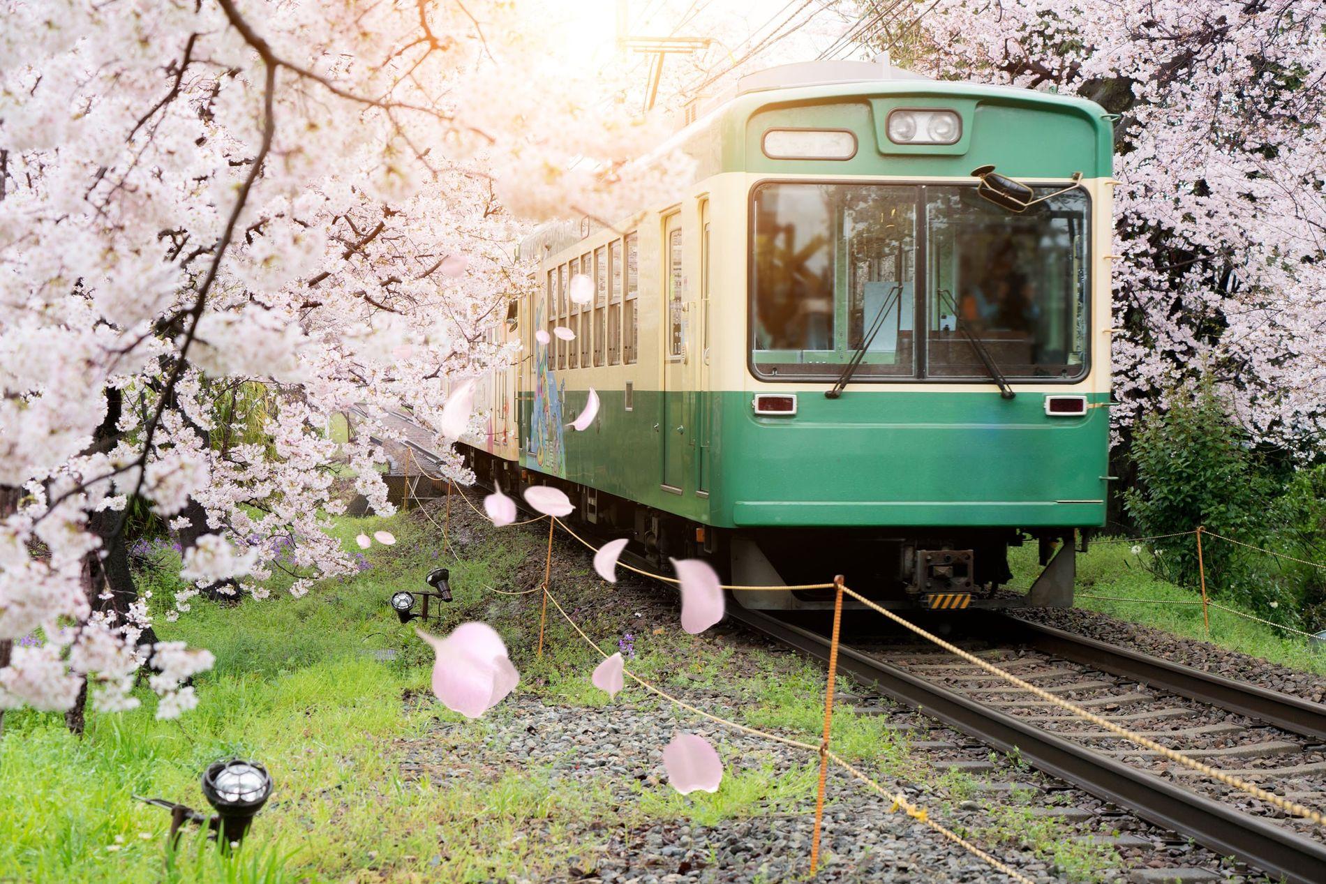 Uma vista do comboio local de Quioto com flores de cerejeira a desabrochar ao longo da ...