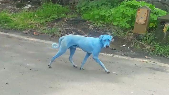 Veja: Cães Azuis Vistos na Índia - Qual a causa?