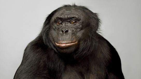 Kanzi, um chimpanzé-pigmeu de 39 anos, ficou muito conhecido pelas suas capacidades de comunicação. Consegue comunicar ...