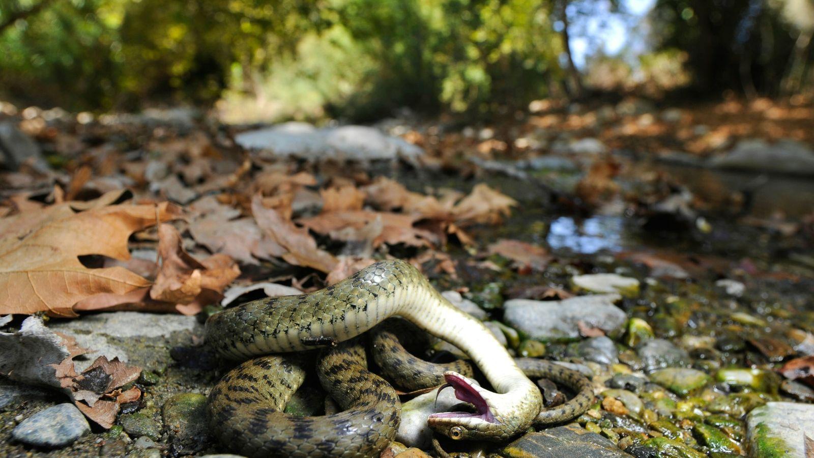 Cobra-dado finge estar morta