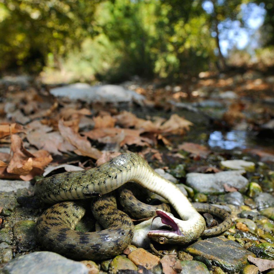 Muitos animais fingem estar mortos – e não o fazem apenas para evitar predadores