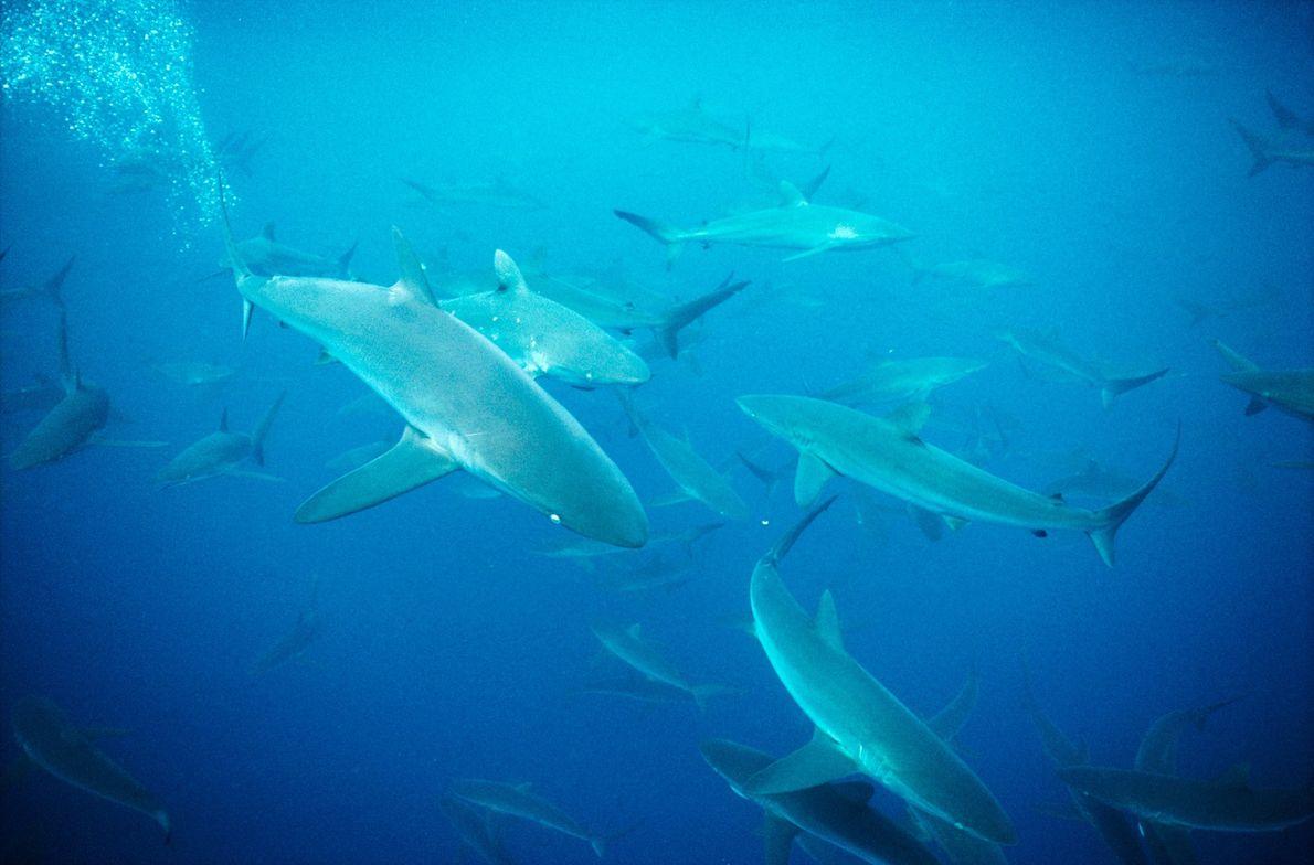 TUBARÃO-COBRE, Carcharhinus brachyurus.