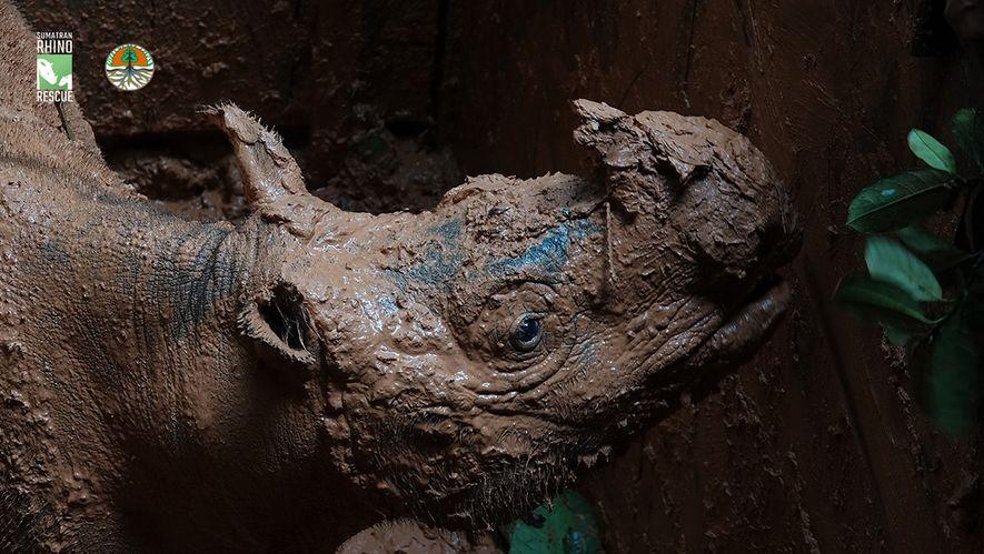 Pahu, um solitário rinoceronte-de-sumatra fêmea, foi capturado numa armadilha na ilha do Bornéu como parte da ...