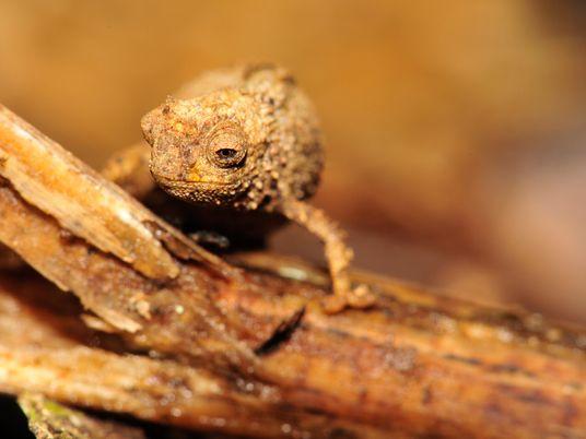 Nova espécie de camaleão pode ser o réptil mais pequeno do mundo