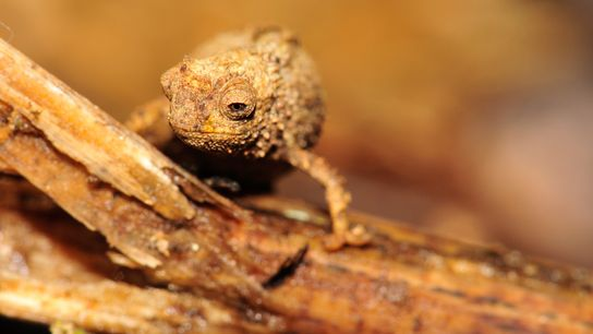 Um camaleão Brookesia nana fêmea em Madagáscar. Esta espécie é provavelmente o réptil mais pequeno na ...
