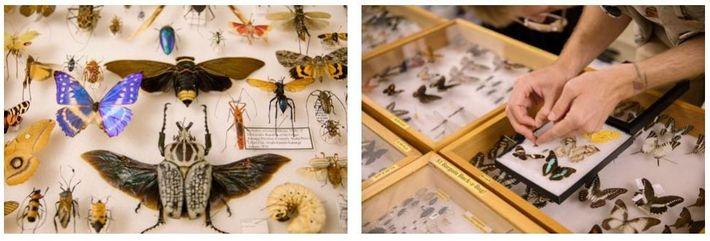 Esquerda: Royce Cumming – uma de muitas pessoas que vendem insetos preservados na Feira de Insetos ...