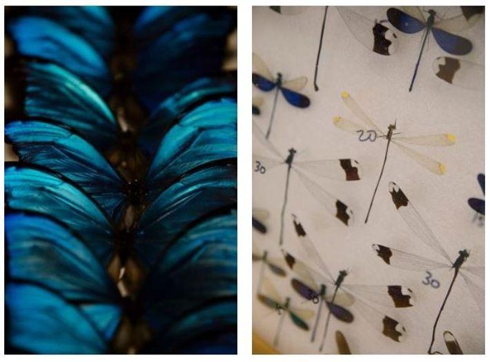 Esquerda: Encontradas principalmente no México, na América do Sul e América Central, as borboletas morfo são ...
