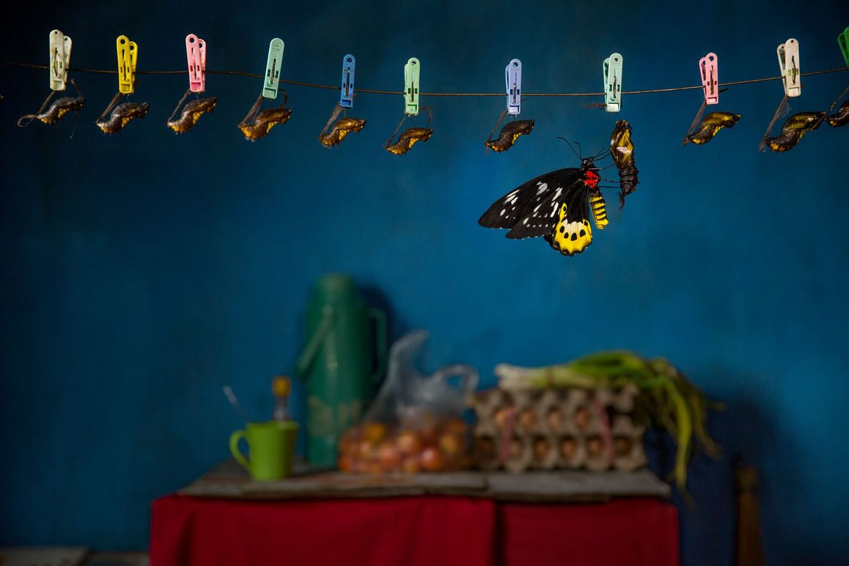 Uma borboleta Ornithoptera goliath eclode na cozinha de uma casa de turismo na Papua Ocidental, na ...