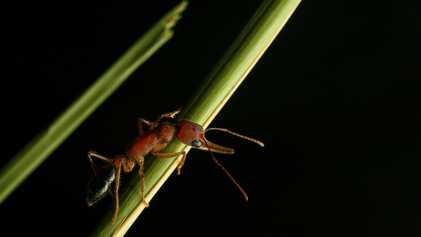 Estas formigas conseguem encolher e aumentar os seus cérebros