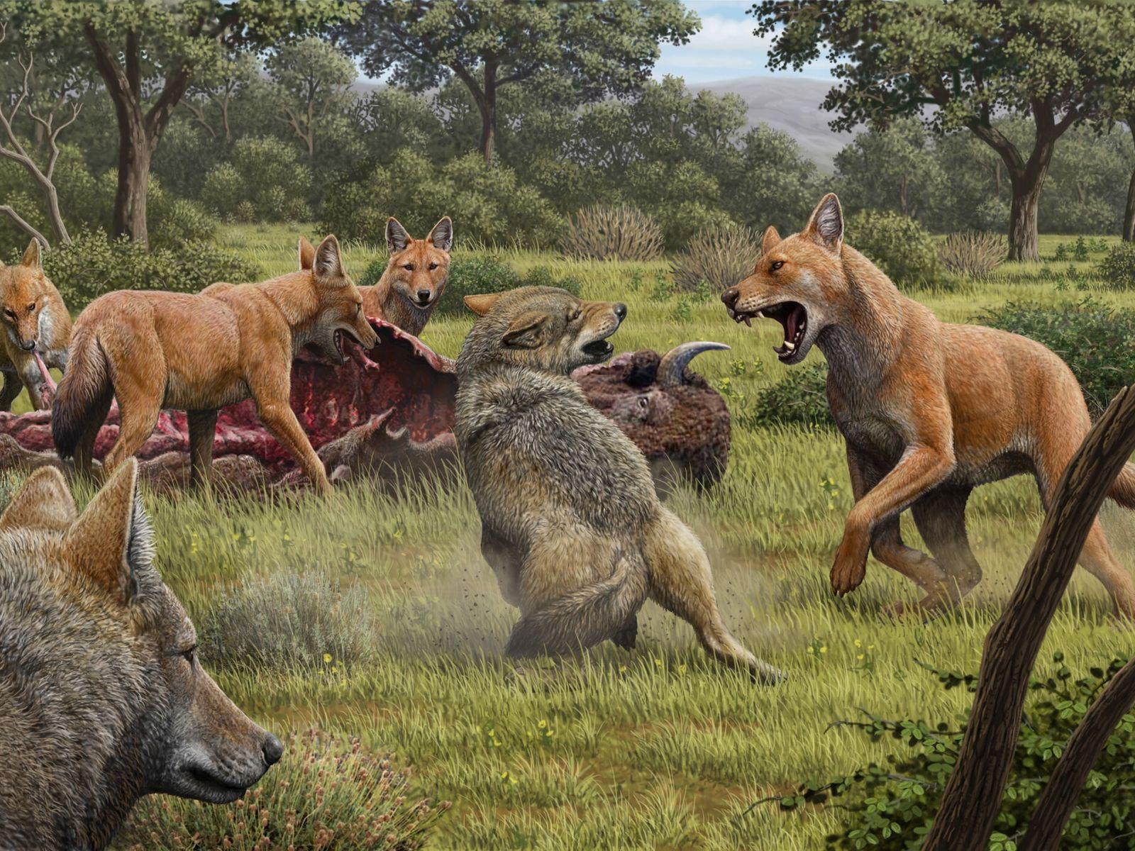Lobos pré-históricos, com pelo avermelhado, envolvidos numa luta com lobos. Esta imagem foi feita em 2020 ...