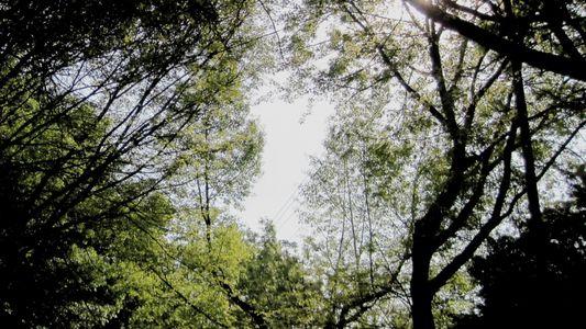 O Fenómeno Natural que Provoca Timidez Entre Árvores