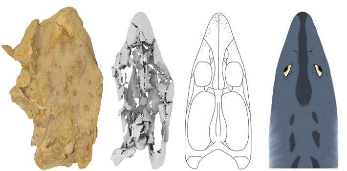 No extremo esquerdo: o crânio de Cardiocorax mukulu inserido num bloco de rocha. No centro, mais ...
