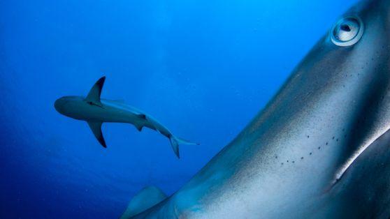 Biologia e Conservação de Tubarões I - Introdução
