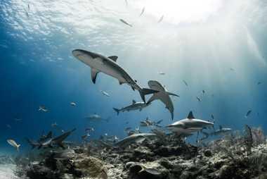Tubarões-cinzentos das Caraíbas reúnem-se em torno de uma rocha e corais perto da ilha Grand Bahama.